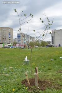 Посади свое дерево_акция_Балаково_10