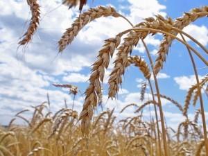 урожай, пшеница_поле